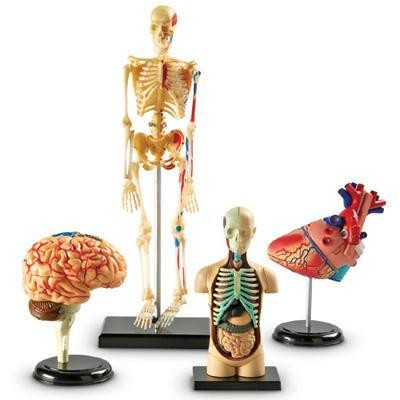 Anatomy Models Bundle Set